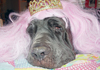 neapolitan mastiffs