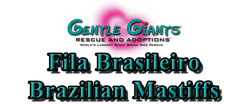 Fila Brasileiro Brazilian Mastiffs at Gentle Giants Rescue and Adoptions